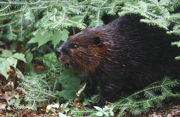 Photograph - Beaver In Forest by Steve Somerville