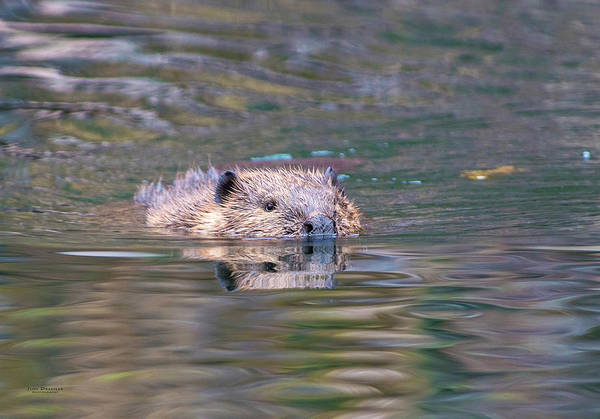 Photograph - Beaver Incoming by Judi Dressler