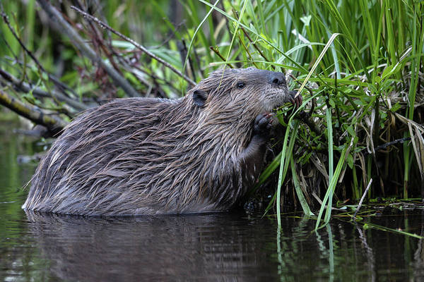 Photograph - Beaver by Ronnie and Frances Howard