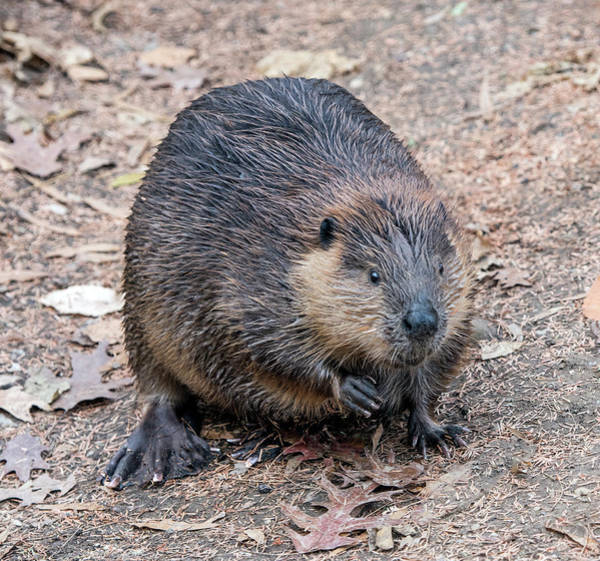 Photograph - Beaver by William Bitman