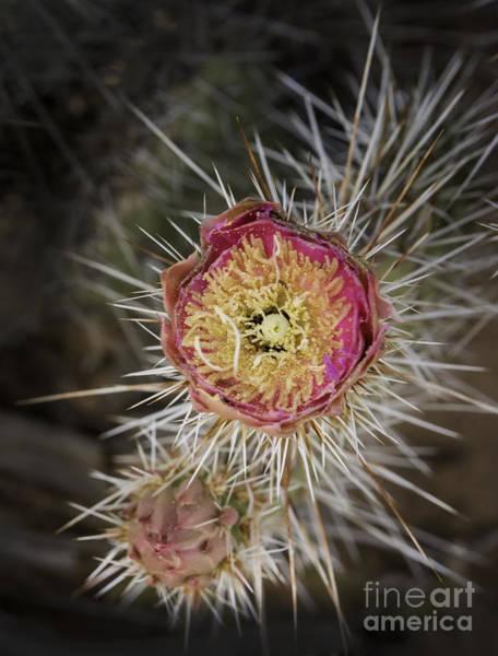 Photograph - Beavertail Cactus by Bitter Buffalo Photography