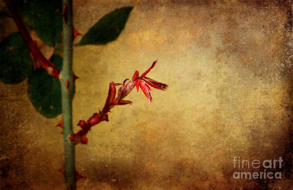 Photograph - Becomes The Rose by Ellen Cotton