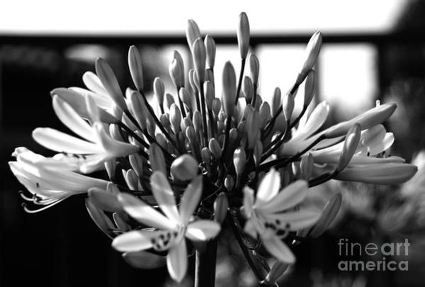 Photograph - Becoming Beautiful - Bw by Linda Shafer