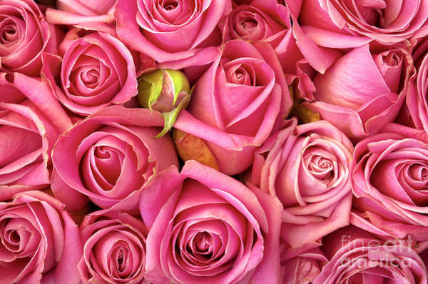Pink Rose Photograph - Bed Of Roses by Carlos Caetano