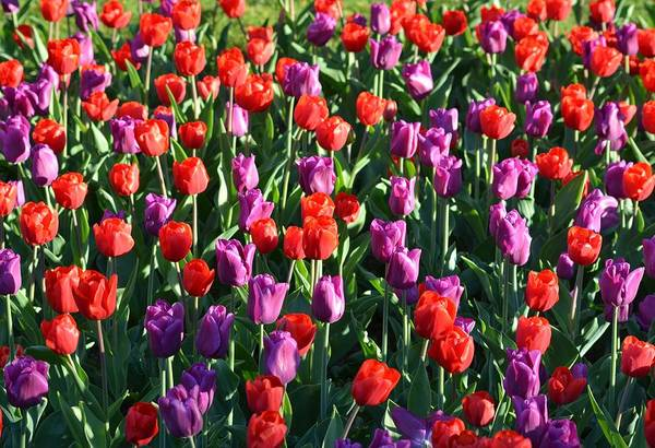 Photograph - Bed Of Tulips by Toby McGuire
