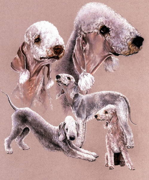 Wall Art - Drawing - Bedlington Terrier by Barbara Keith