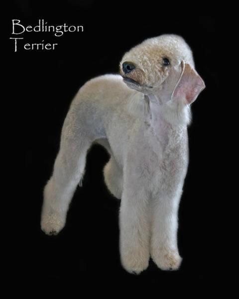 Photograph - Bedlington Terrier by Larry Linton