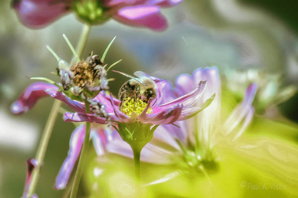 Photograph - Bee Above Yellow.... by Paul Vitko