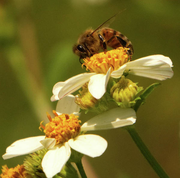 Photograph - Bee Among Daisies by Vincent Billotto