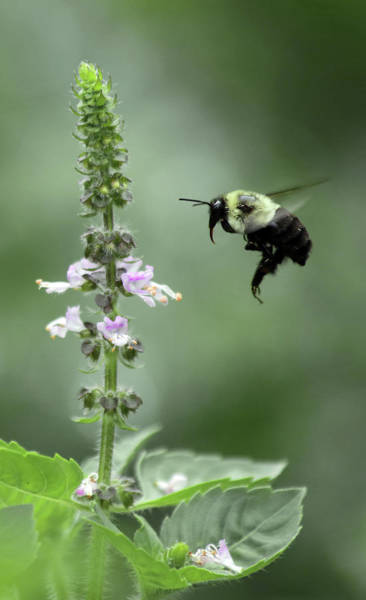 Wall Art - Photograph - Bee And Holy Basil by Stamp City