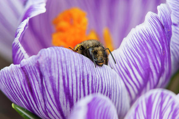 Photograph - Bee And Pollen by Robert Potts
