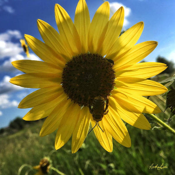 Photograph - Bee And Sunflower by Nathan Little