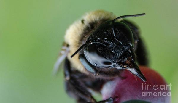 Photograph - Bee by Andrea Anderegg