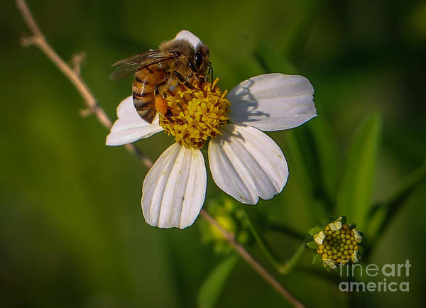 Photograph - Bee At Work by Tom Claud