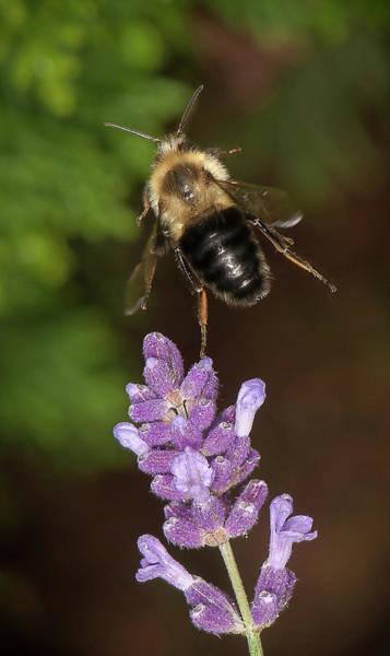 Photograph - Bee Ballet by Len Romanick