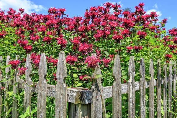Wall Art - Photograph - Bee Balm Picket Fence by Edward Fielding