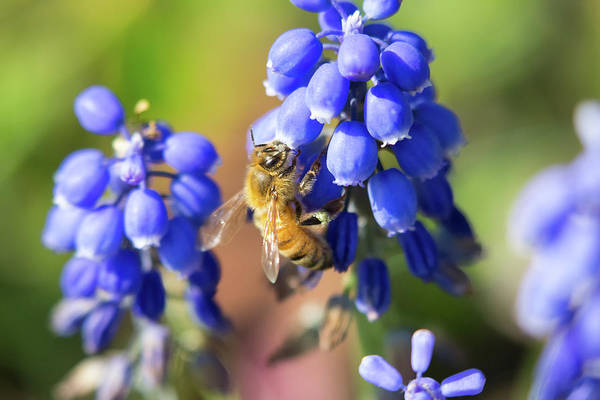 Photograph - Bee Blue by Brian Hale