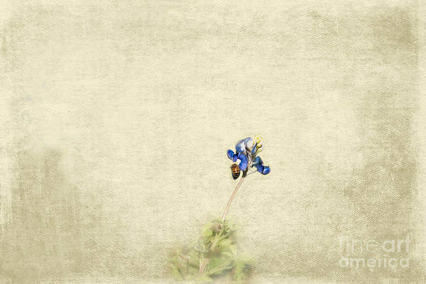 Photograph - Bee Bluebonnet by Kim Henderson