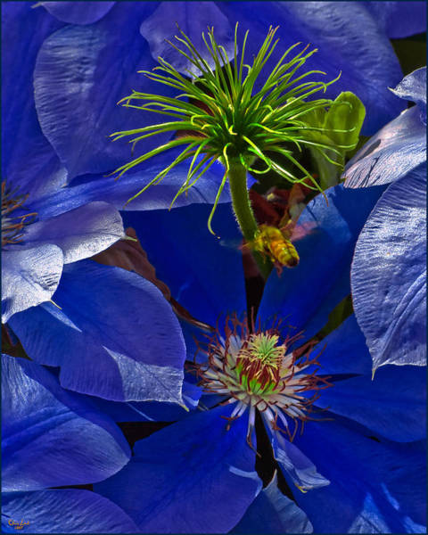 Photograph - Bee Blues by Chris Lord
