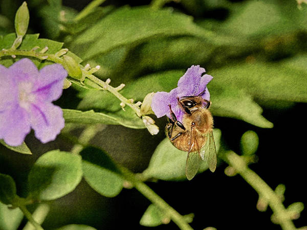 Photograph - Bee by Charles McKelroy