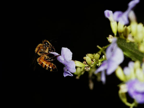Photograph - Bee Close-up by Charles McKelroy