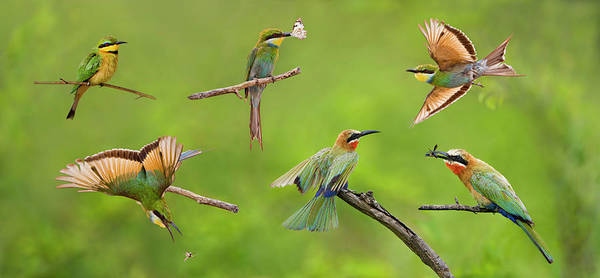 Bird In Flight Digital Art - Bee-eater Collage by Basie Van Zyl
