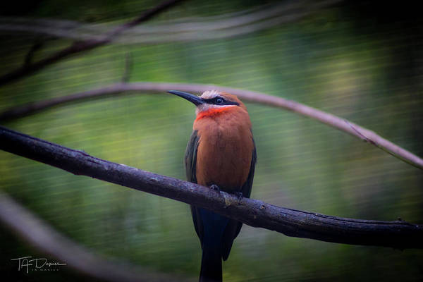 Photograph - Bee-eater by T A Davies