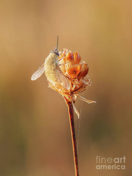 Photograph - Bee Fly I by Clarence Holmes
