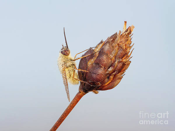 Photograph - Bee Fly II by Clarence Holmes