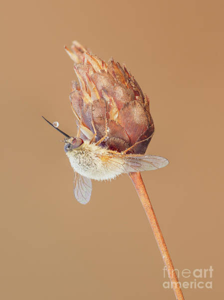 Photograph - Bee Fly IIi by Clarence Holmes