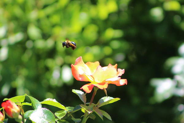 Photograph - Bee Flying From Peach Petal Rose by Colleen Cornelius