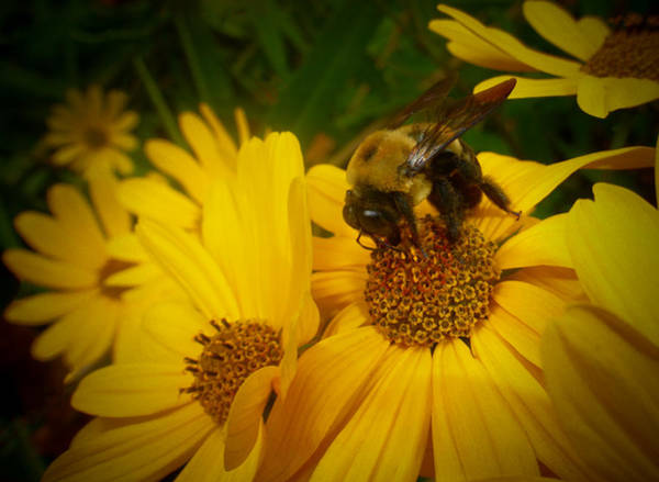 Photograph - Bee Happy by Dave Bosse