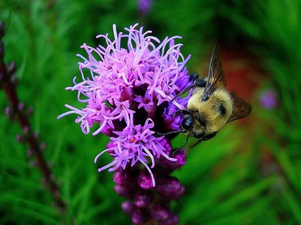 Liatris Spicata Photograph - Bee Impatient by Maxwell Krem