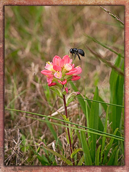 Photograph - Bee In Flight To Feed by Charles McKelroy