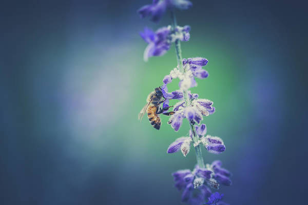 Honey Photograph - Bee In Lavender by Shane Holsclaw
