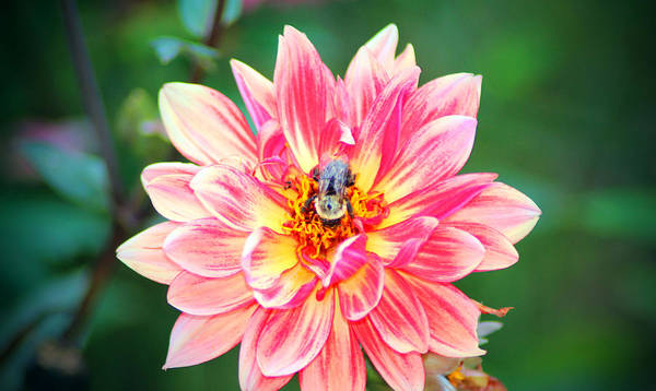 Photograph - Bee In The Center by Cynthia Guinn