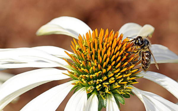 Photograph - Bee In The Echinacea  by AJ Schibig