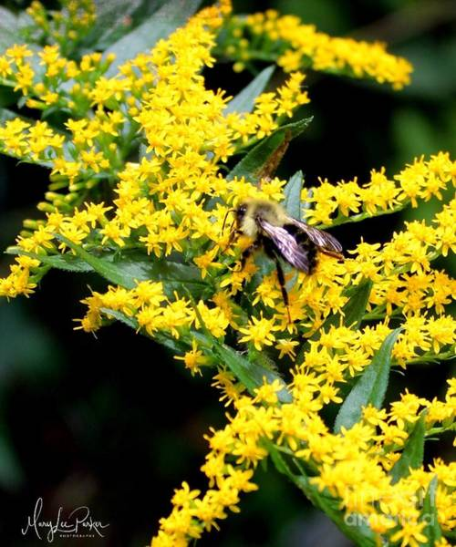 Photograph - Bee In The Rawweed by MaryLee Parker