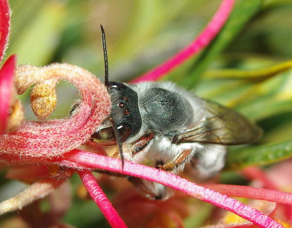 Nature Digital Art - Bee by Maye Loeser