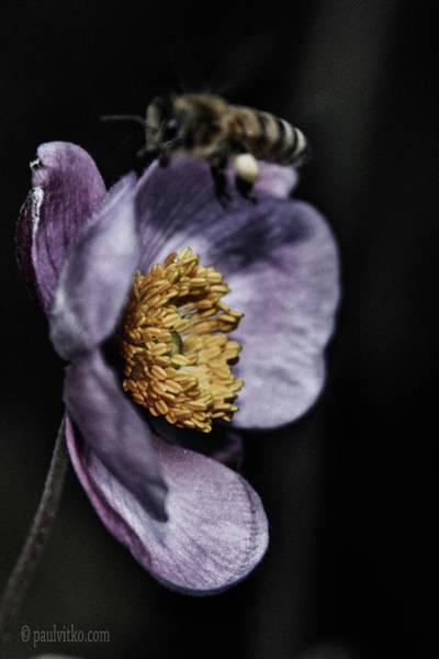 Photograph - Bee Night.... by Paul Vitko