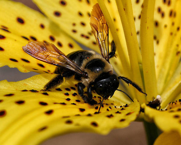 Photograph - Bee On A Lily by William Selander
