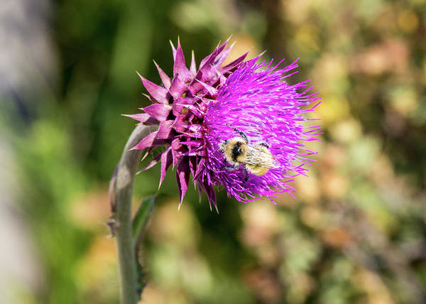 Photograph - Bee On A Thistle by M C Hood
