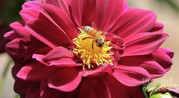 Photograph - Bee On Beautiful Dahlia by Carol Groenen