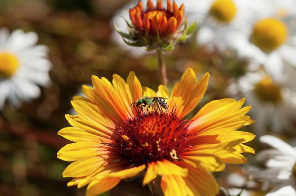 Photograph - Bee On Blanketflower by Robert Potts