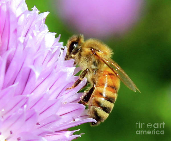 Photograph - Bee On Chive Flower by Ann E Robson