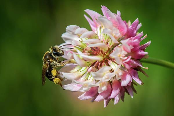 Bug Man Photograph - Bee On Clover by Paul Freidlund