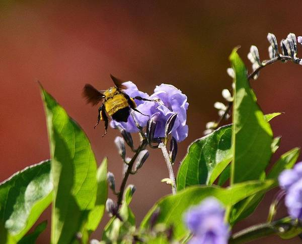 Bee On Flower Wall Art - Photograph - Bumblebee On Duranta Repens Sapphire 1 by Linda Brody