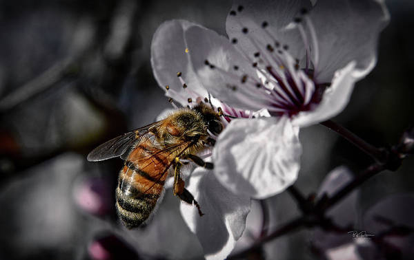Photograph - Bee On Flower by Bill Posner