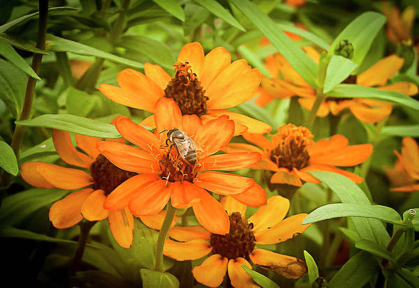 Photograph - Bee On Flower by Brian Kinney