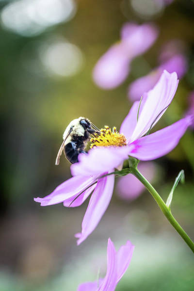 Photograph - Bee On Flower by Framing Places